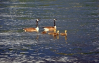 Canada Geese Family 2 Hopatcong State Park by MoeR