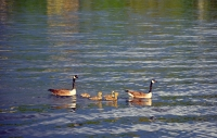 Canada Geese Family Hopatcong State Park by MoeR